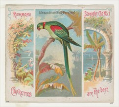 Alexandrine Ring Parakeet, from Birds of the Tropics series (N38) for Allen & Ginter Cigarettes, 1889.