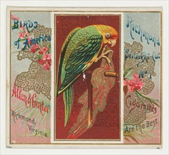 Carolina Parrot, from the Birds of America series (N37) for Allen & Ginter Cigarettes, 1888.