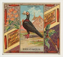 Carrier Pigeon, from the Birds of America series (N37) for Allen & Ginter Cigarettes, 1888.
