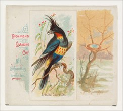 Crested Sparactes, from the Song Birds of the World series (N42) for Allen & Ginter Cigarettes, 1890.