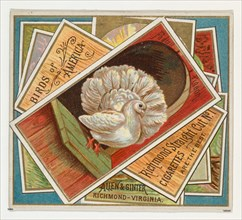 Fantail Pigeon, from the Birds of America series (N37) for Allen & Ginter Cigarettes, 1888.
