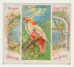 New Zealand Parrot, from Birds of the Tropics series (N38) for Allen & Ginter Cigarettes, 1889.