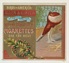 Pouter Pigeon, from the Birds of America series (N37) for Allen & Ginter Cigarettes, 1888.