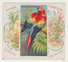 Red and Blue Macaw, from Birds of the Tropics series (N38) for Allen & Ginter Cigarettes, 1889.