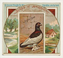 Tumbler Pigeon, from the Birds of America series (N37) for Allen & Ginter Cigarettes, 1888.