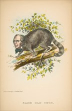 Same Old Coon (Henry Clay), from The Comic Natural History of the Human Race, 1851.