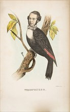 Woodpecker (William B. Gihon), from The Comic Natural History of the Human Race, 1851.