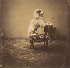 [Empress Eugénie's Poodle], 1850s.