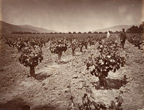 Vineyard of Camulos Ranch, 1876, printed ca. 1876.