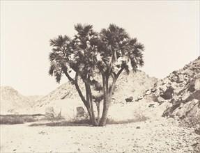 Environs de Fileh, Palmier Doum sur la Rive Orientale du Nil, 1851-52, printed 1853-54.