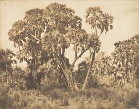 Palmiers Doums à Hamarneh, 1849-50.