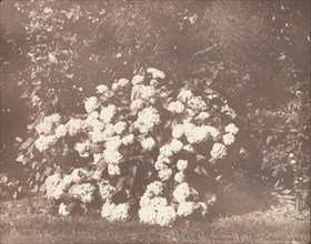 A Bush of Hydrangea in Flower, ca. 1842.