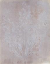 Graminacea, 1839.