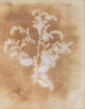 [Photogenic Drawing of a Plant], 1839-40.