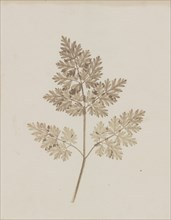 Leaf of a Plant, before February 14, 1844.