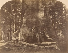 Section of Grisly Giant, Mariposa Grove, 1861.