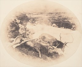 Two Stags, One Shot by Mr. Ross and the Other by Mrs. Ross, ca. 1858.