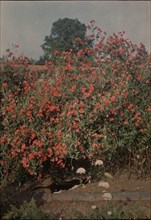 Cat and Sweetpeas, ca. 1907.