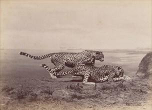 [Two Cheetahs], 1888.