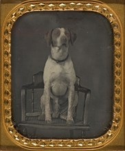 Dog Posing for Portrait in Photographer's Studio Chair, ca. 1855.