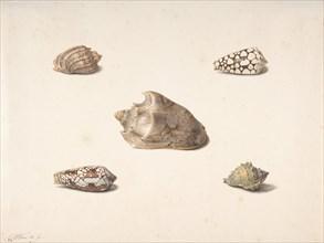 Five Shells, n.d.. Creator: Georgius Jacobus Johannes van Os.