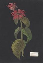 Monarda didyma/Scarlet Lion's Tail, ca. 1791 (?). Creator: William Booth Grey.
