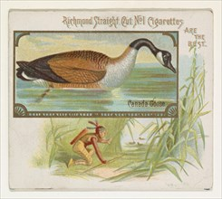 Canada Goose, from the Game Birds series (N40) for Allen & Ginter Cigarettes, 1888-90.