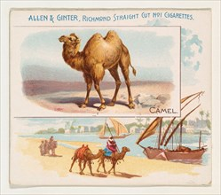 Camel, from Quadrupeds series (N41) for Allen & Ginter Cigarettes, 1890.