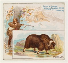Musk Ox, from Quadrupeds series (N41) for Allen & Ginter Cigarettes, 1890.