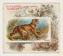 Tiger, from Quadrupeds series (N41) for Allen & Ginter Cigarettes, 1890.