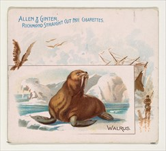 Walrus, from Quadrupeds series (N41) for Allen & Ginter Cigarettes, 1890.