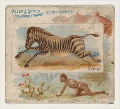 Zebra, from Quadrupeds series (N41) for Allen & Ginter Cigarettes, 1890.
