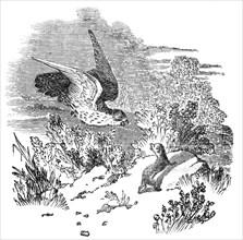 Battle between a hawk and weasel