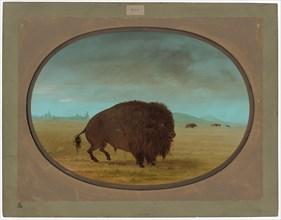 Wounded Buffalo Bull