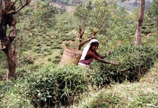 Thé, cueillette au Sri Lanka