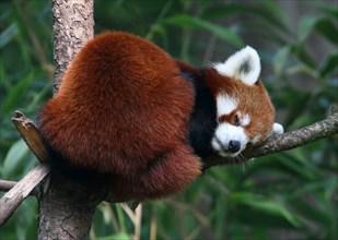 Asian Red Panda