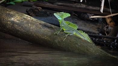 Basilisk or 'Jesus Christ' Lizard can run over water, Costa Rica