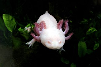 Closeup of an axolotl, a mexican salamander
