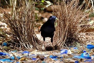 Male Satin Bowerbird at Bower