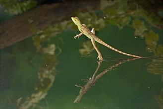 Green basilisk plumed basilisk crested basilisk Basiliscus plumifrons youngster running across water