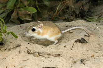 Gulf Coast Kangaroo Rat Dipodomys compactus