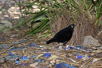 satin bowerbird next to bower
