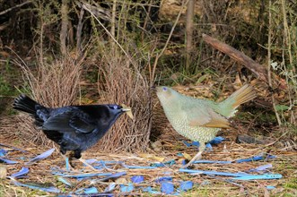 Satin Bowerbird Ptilonorhynchus violaceus Male and female at bower Photographed in ACT, Australia