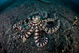 A Mimic octopus (Thaumoctopus mimicus) crawls across dark, volcanic sand where it may disappear into a subterranean burrow.