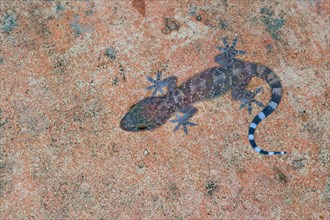 Turkish gecko, Mediterranean gecko (Hemidactylus turcicus), sitting at a wall