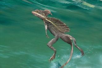 Brown basilisk, Striped Basilisk, Yellow-striped Basilisk, Jesus Christ Lizard (Basiliscus vittatus), running over the water
