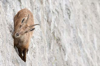Alpine ibex on dam (Capra ibex), a female is walking on the vertical wall