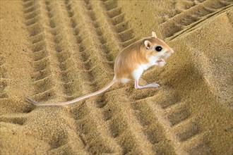 Desert kangaroo rat