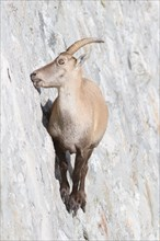 A female of alpine ibex (Capra ibex) is licking mineral salts on a sub-vertical dam wall. Antrona valley, Italy.