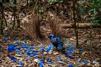 Satin Bowerbird - At O'Reilly's Rainforest Retreat, Lamington National Park